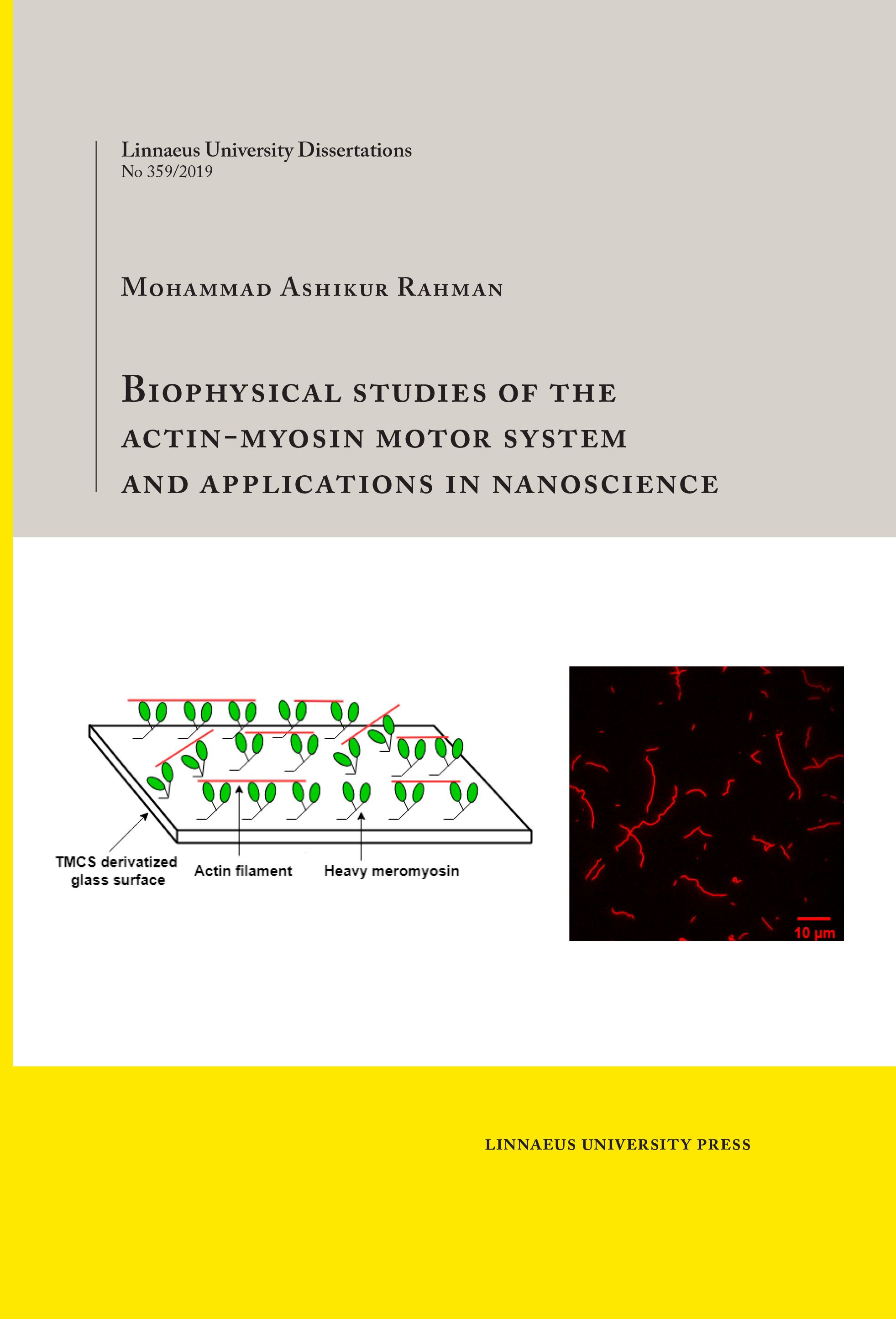 Biophysical studies of the actin-myosin motor system and